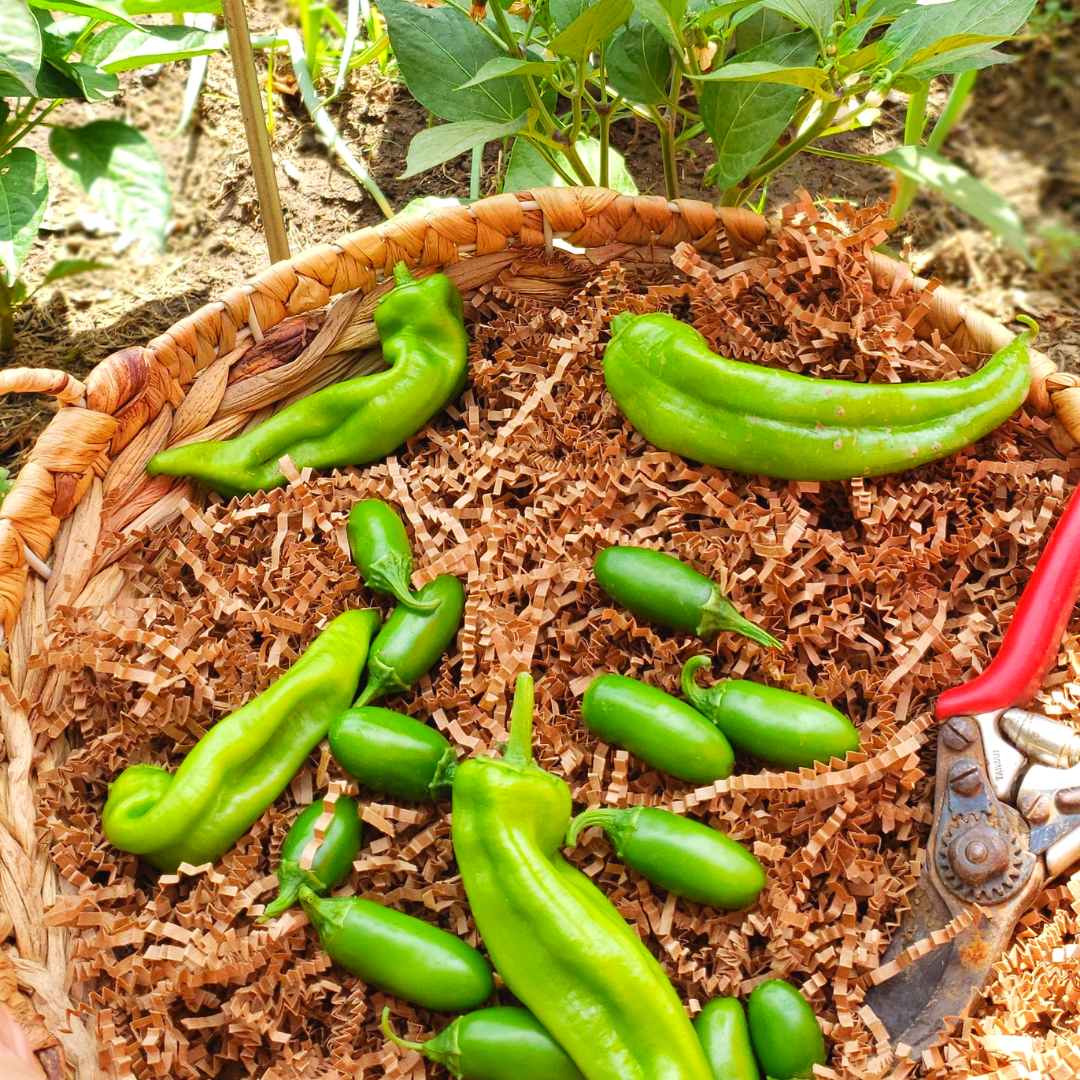 harvest chiles.png